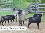 Raising Shetland Sheep: Guide To Starting A Flock