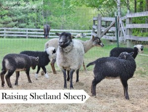 raising-shetland-sheep