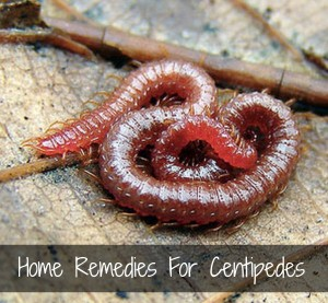 Home Remedies For Centipedes