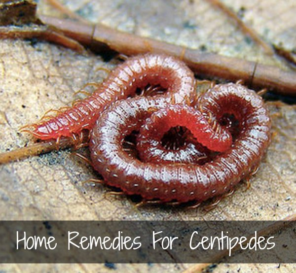 remedies-for-centipedes