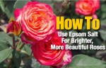 How To Use Epsom Salt For Brighter And More Beautiful Roses