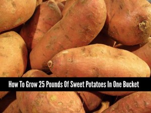 How To Grow 25 Pounds Of Sweet Potatoes In One Bucket