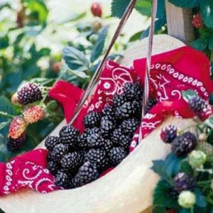How To Grow Blackberries On A Trellis