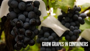grow-grapes-in-containers