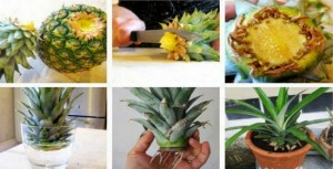 how-to-grow-a-pineapple