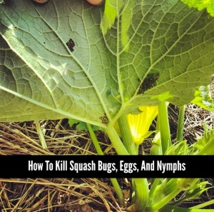 How To Kill Squash Bugs, Eggs, And Nymphs