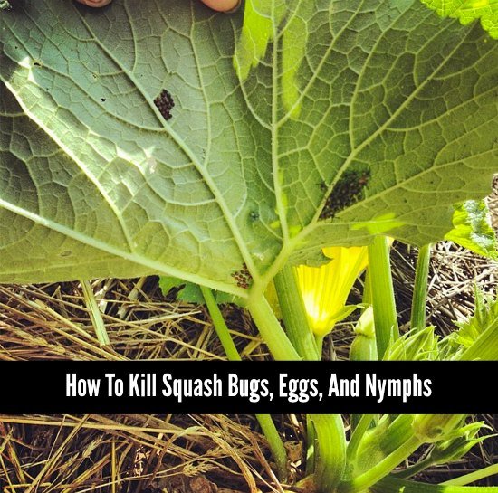 how-to-kill-squash-bugs
