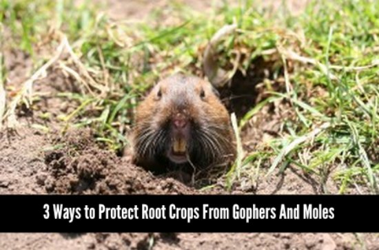 protect-root crops-from-gophers-and-moles