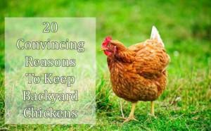 reasons-to-keep-backyard-chickens