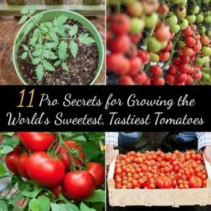 tastiest-tomatoes