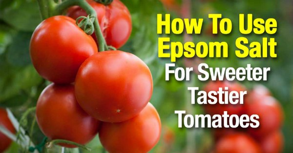 use-epsom-salt-for-sweeter-tastier-tomatoes