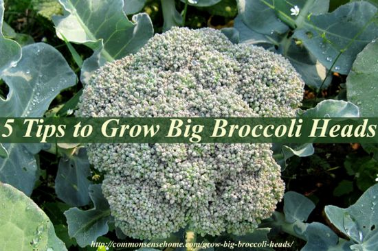 grow-big-broccoli-heads