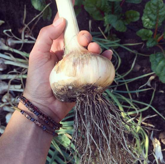 grow-your-own-garlic