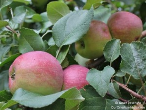 How To Grow Apples Without Pesticides