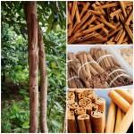 Guide: How To Grow Cinnamon