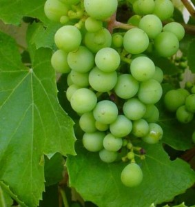 Guide: How To Grow Grapes