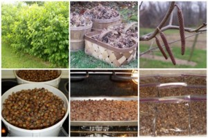 How To Grow Hazelnuts Or Filberts