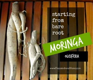 How To Grow Moringa From Bare Root Stock