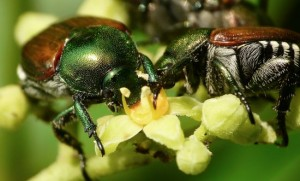 How To Beat The Japanese Beetle