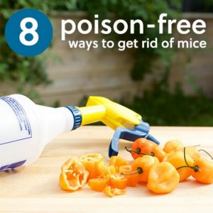 poison-free-ways-to-get-rid-of-mice