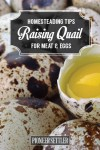 Guide: Raising Quail For Meat And Eggs