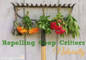 Tips For Repelling Coop Critters Naturally
