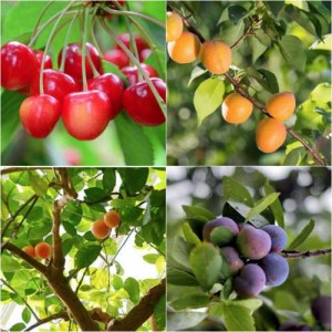 fruit-trees-for-your-deck