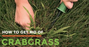 get-rid-of-crabgrass