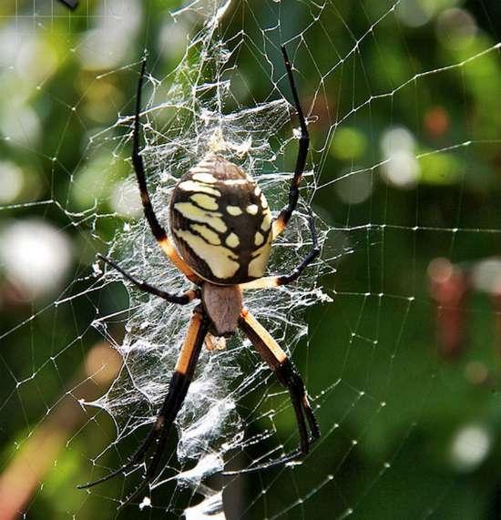 north-american-spider-identification
