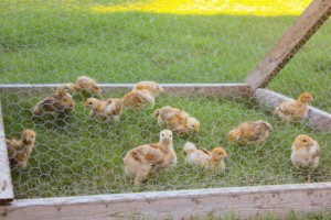 How Much Does Raising Chicken Meat Cost?
