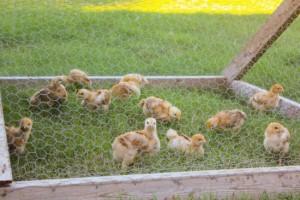 raising-chicken-meat-cost