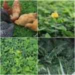 Perennial Peanut Grass – A Drought Tolerant Alternative To Grass Lawn