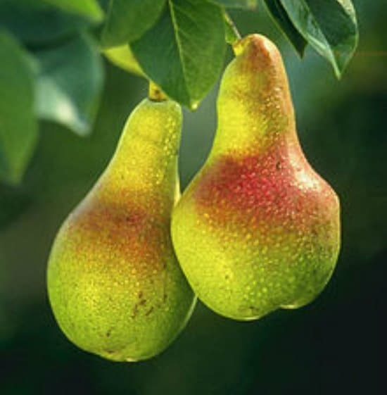 european-pear-best-dwarf-trees