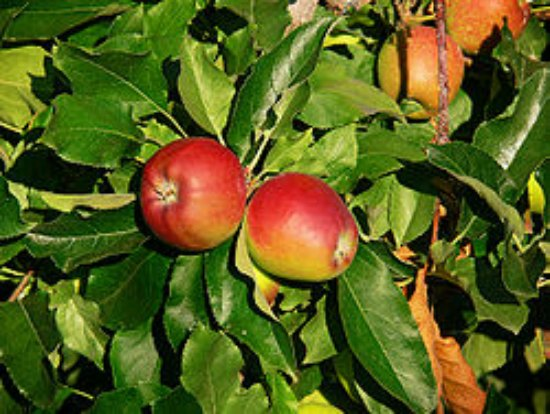 gala-apple-best-dwarf-trees