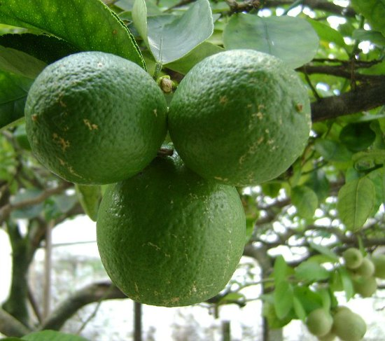 key-limes-best-dwarf-trees
