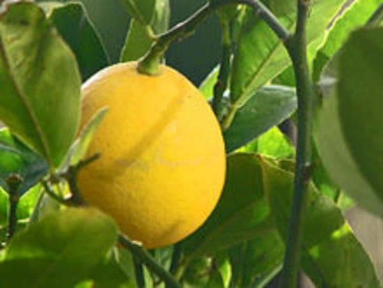 lemon-tree-best-dwarf-trees