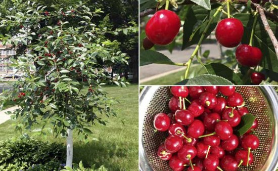 north-star-cherry-tree-best-dwarf-trees