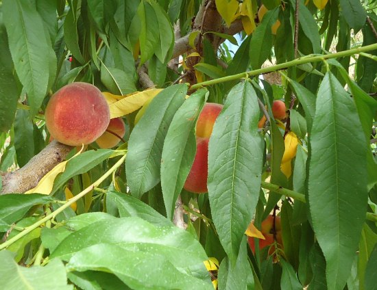 peach-tree-best-dwarf-trees