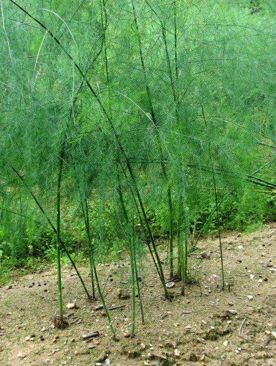 perennial-vegetables-3