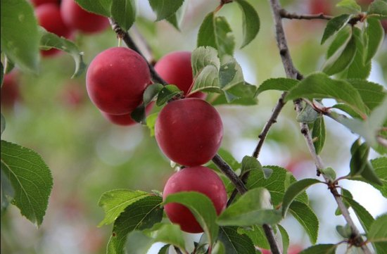 plum-best-dwarf-trees
