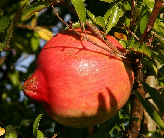 pomegranate-best-dwarf-trees