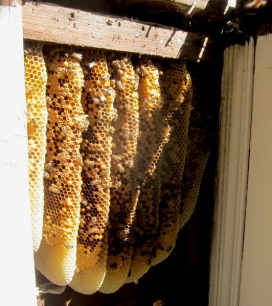 remove-bees-from-a-wall