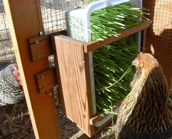 sprout-feeder-chicken-coop-upgrades