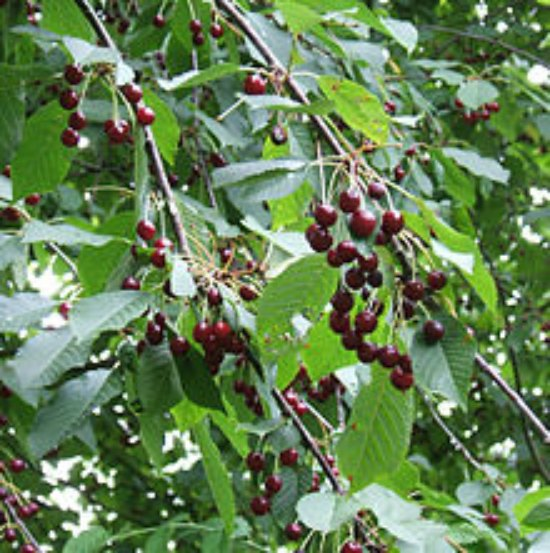 sweet-cherry-best-dwarf-trees
