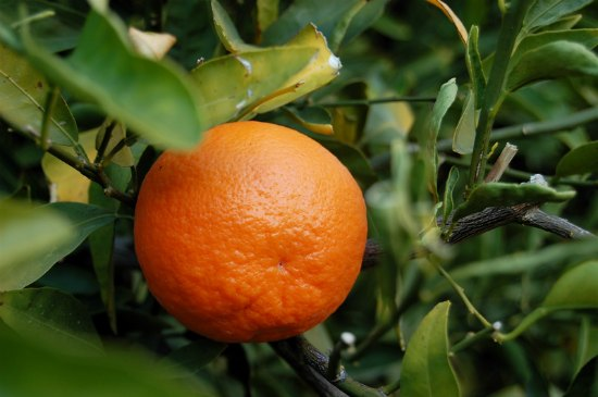 tangerine-fruit-best-dwarf-trees