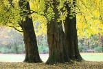 13 Trees To Never Plant In Your Yard