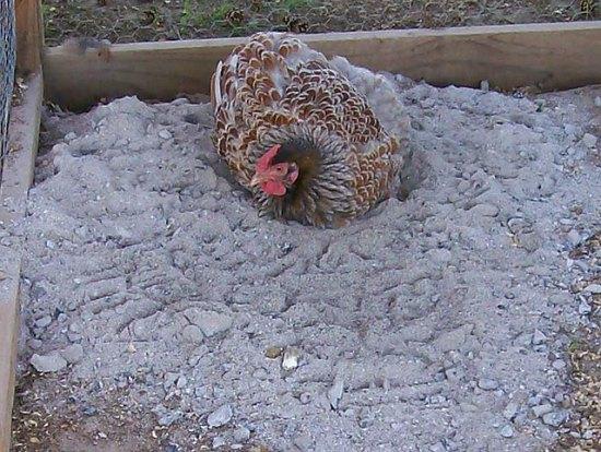 wood-ash-bath-chicken-coop-upgrades