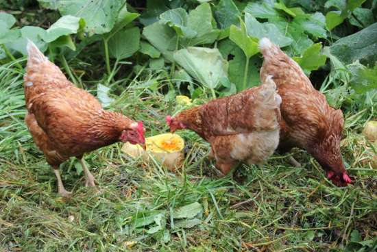 12-homemade-healthy-treats-for-chickens