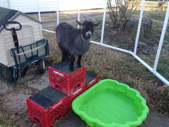12-toys-for-goats-to-keep-them-busy
