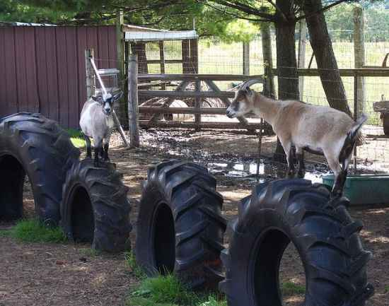 13-toys-for-goats-to-keep-them-busy
